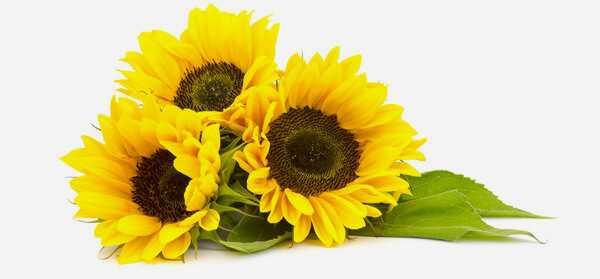 20 bedste fordele ved solsikkeolie (Surajmukhi Tel) til hud, hår og sundhed