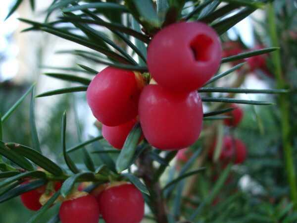 Najlepšie účinky Taxusu na liečbu a zdravie