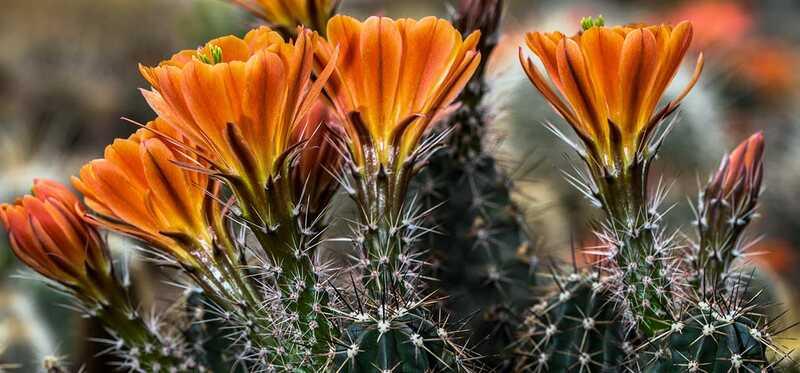 6 prekrásnych krás a prínosy pre kaktusové kvety