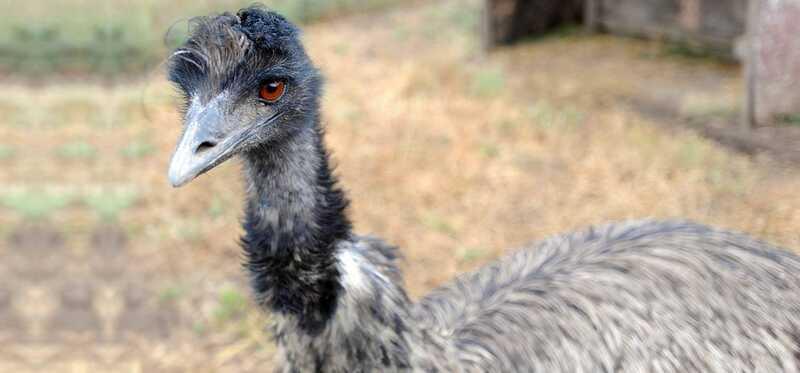 Pomáha Emu olej vo vlasovom raste?
