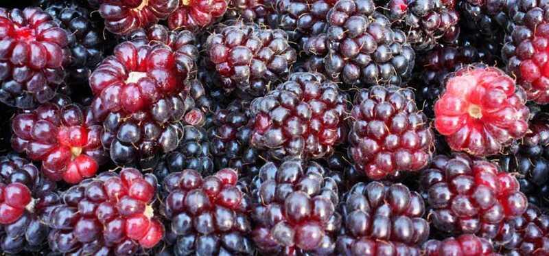 5 fantastiske fordele ved boysenberries