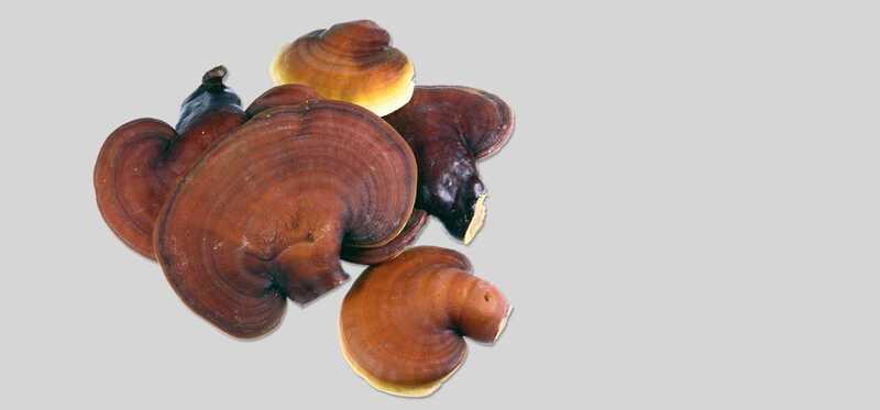 20 úžasných zdravotných prínosov húb Ganoderma