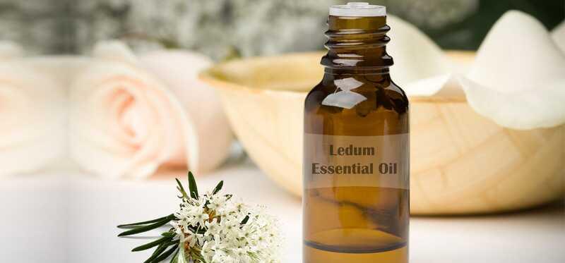 10 fantastiske sundhedsmæssige fordele ved Ledum æterisk olie