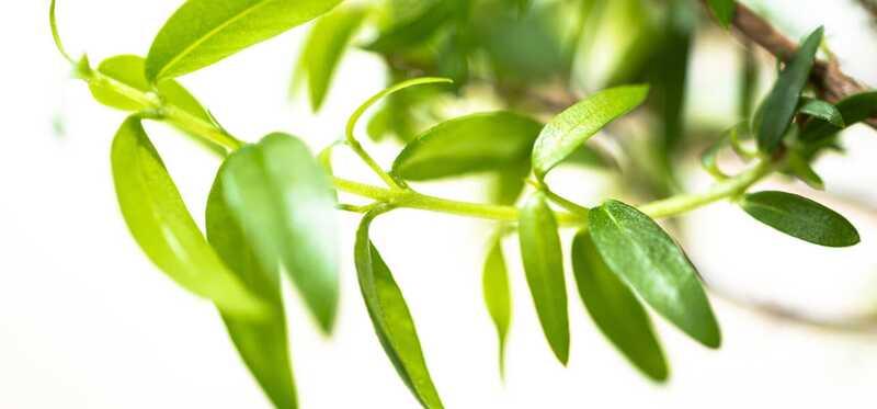 20 nuostabių citrinų mirtų sveikatingumo privalumų