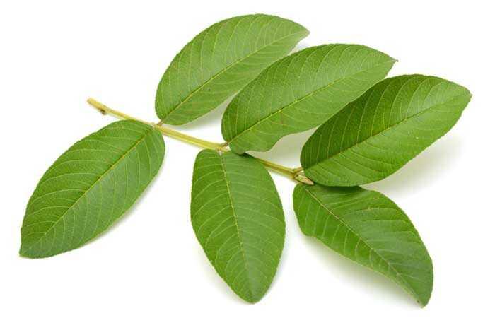 Ako sú Guava Listy prospešné pre vaše vlasy?