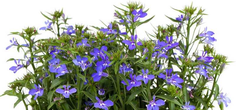 6 Liekové a 8 vedľajších účinkov Lobelia Herb