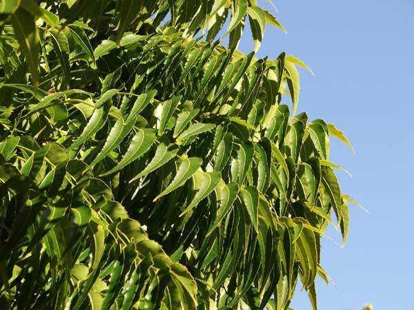 18 fantastiske fordele ved Neem Leaves til hud, hår og sundhed