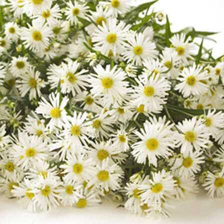 Top 15 smukkeste Aster-blomster