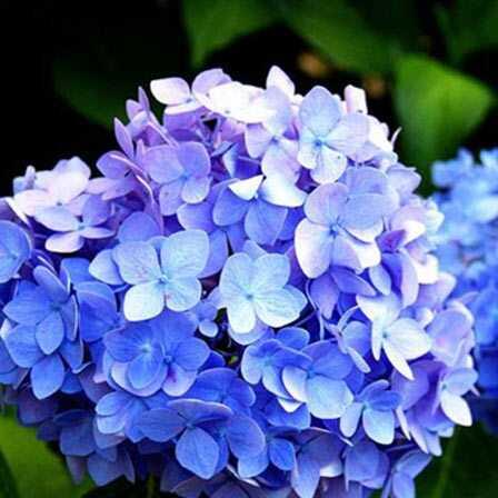 25 najkrajších modrých kvetín