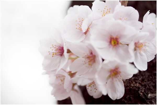 Top 15 kõige ilusama Cherry Blossom Flowers