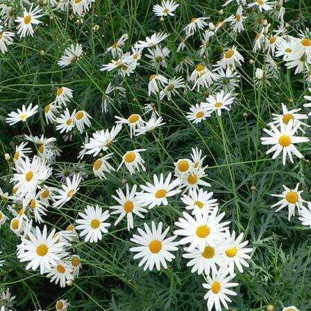 Top 25 smukkeste Daisy Flowers