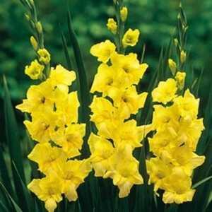 Top 15 kõige ilusamaid Gladiolus Flowers