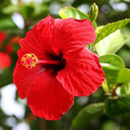Top 25 gražiausių hibiscus gėlės