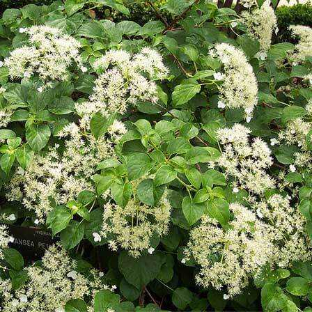 Top 15 kõige ilusamad Hortensia lilled