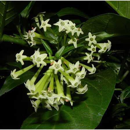 Top 25 najkrajších jasmínových kvetov