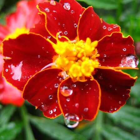 Top 25 smukkeste Marigold Flowers