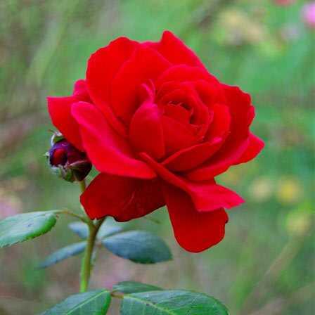25 najkrajších červených kvetín
