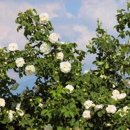 Top 15 smukkeste Rose Flowers