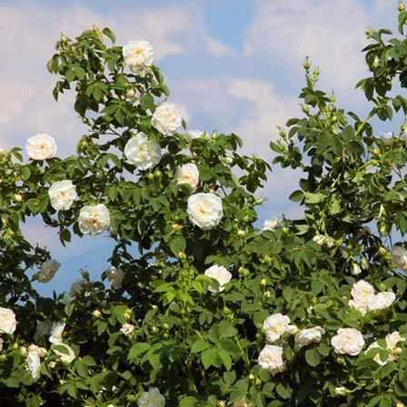 Top 15 najkrajšie ružové kvety