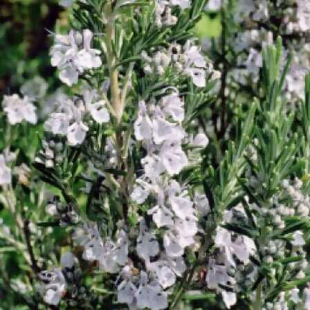 Top 25 najkrajších rozmarínových kvetov