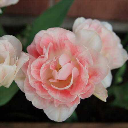 Top 25 kõige ilusama Tulip Flowers