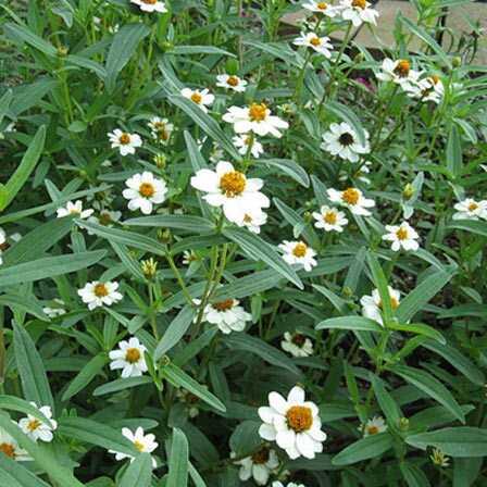 Top 15 najkrajších Zinnia Kvety