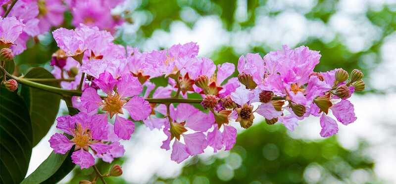 12 csodálatos előnye a királynő virágának az egészségére