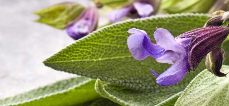 10 úžasných výhod Sage Herb (Kamarkas) pre pokožku, vlasy a zdravie