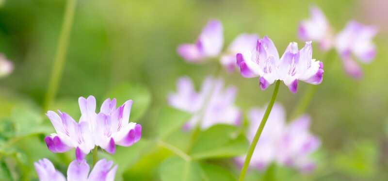 6 závažných vedľajších účinkov Astragalusu