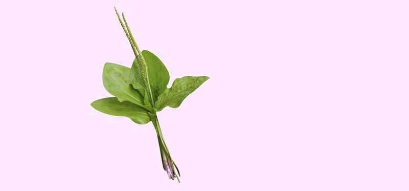 20 fantastiske fordele ved Plantain til hud, hår og sundhed
