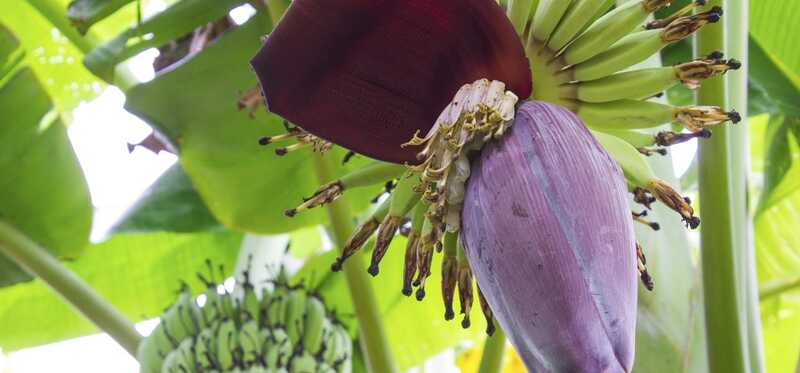 7 úžasné zdravotné prínosy banánových kvetov
