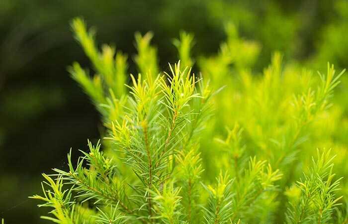 Kako uporabljati čajevsko olje za spodbujanje rasti las