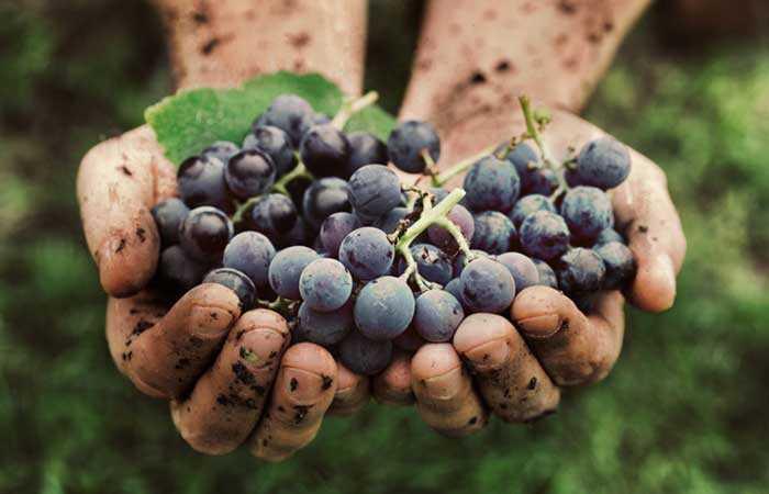 20 vynuogių (angoras) nauda odai, plaukams ir sveikatai