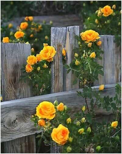 Top 10 gražiausių geltonųjų rožių