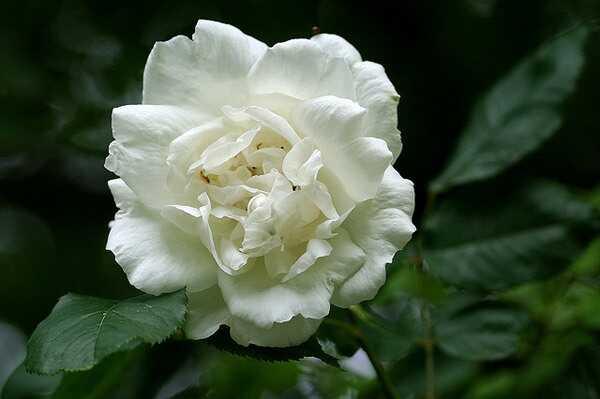Top 10 skaistākās baltas rozes