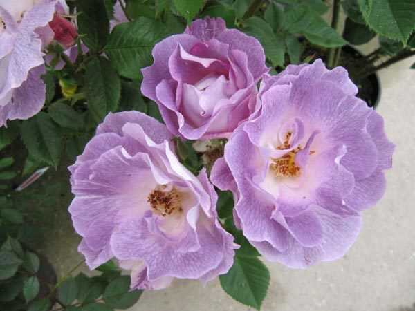 Top 10 smukkeste blå roser