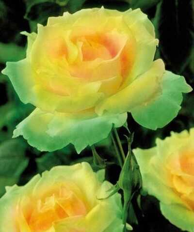 Top 10 kõige ilusamaid rohelisi roosi