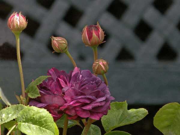 Top 10 gražiausių purpurinių rožių