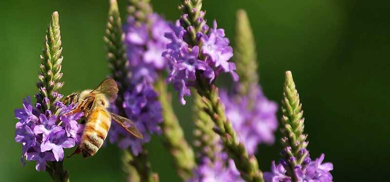 11 úžasné prínosy Vervainu pre zdravie