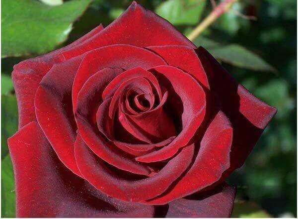 7 kõige ilusamaid must roosi
