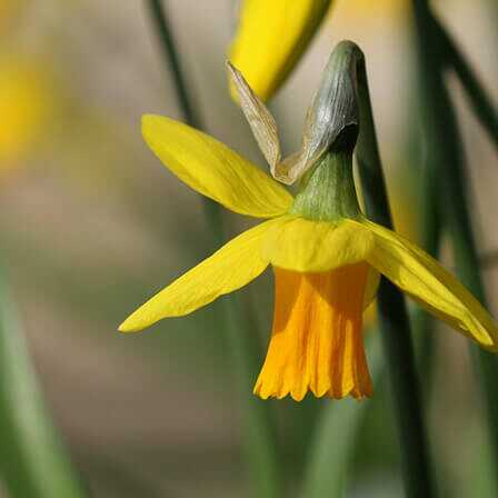 Top 25 legszebb nárcisz virág