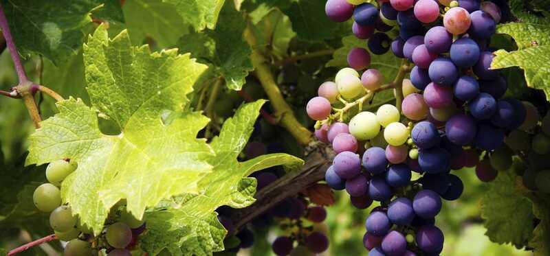 3 úžasné výhody a 2 vedľajšie účinky kyseliny vínnej