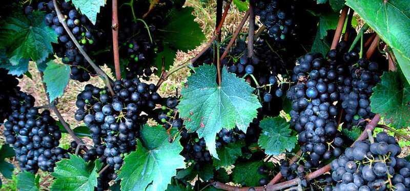 10 најдобри бенефиции од црно грозје за кожа, коса и здравје