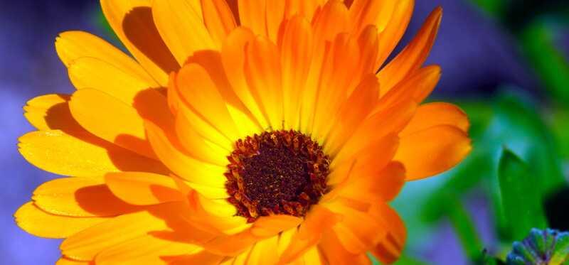 18 geweldige voordelen van Calendula Herb voor huid, haar en gezondheid