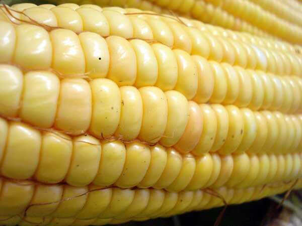16 geriausių kukurūzų (bhutos) privalumų odai, plaukams ir sveikatai