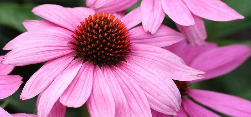9 úžasných výhod Echinacey pre pokožku, vlasy a zdravie