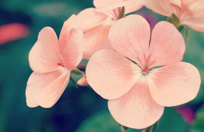 26 najlepších výhod Geranium pre pokožku, vlasy a zdravie