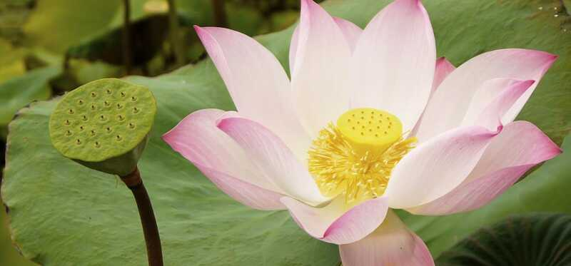 23 úžasných výhod Lotusu (Nelumbo Nucifera) pre pokožku, vlasy a zdravie