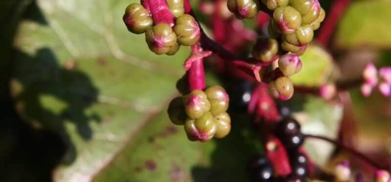 14 bedste fordele ved rød spinat til hud, hår og sundhed
